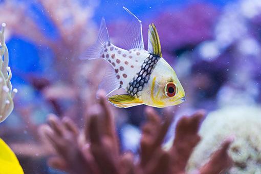 Pajama-Carinal-a-great-choice-for-small-aquariums
