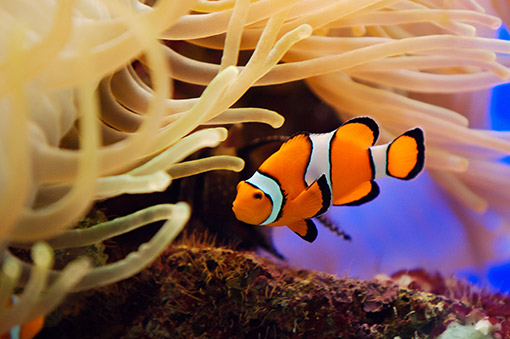 clown-fish-is-a-great-choice-for-nano-tanks