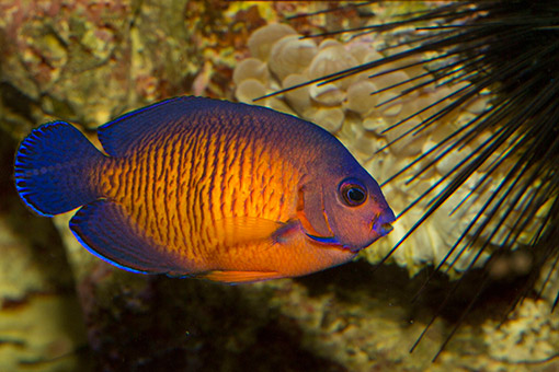 coral-beauty-reef-fish