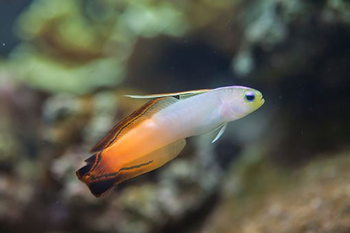 fire-fish-goby
