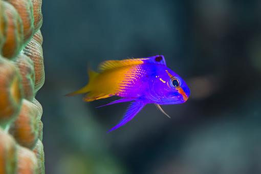 royal-gramma-nano-reef-fish