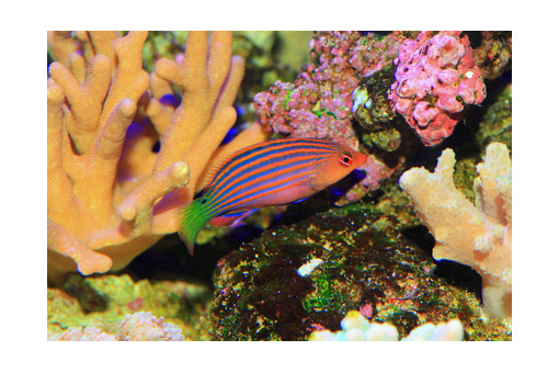 six-line-wrasse-a-favorite-amoung-reef-keepers