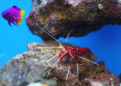 perfect-mini-reef-inhabitants-blood-shrimp-and-Royal-gramma
